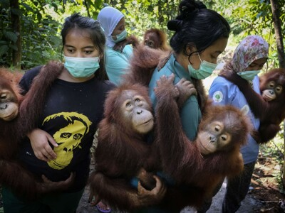 Alain Schroeder pro National Geographic - Mother-substitutes carry orphaned orangutans to a forest school where they will teach them to climb trees, at SOCP Quarantine Centre in Sibolangit, North Sumatra, Indonesia.