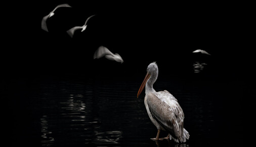 Příběh fotografie – Roman Šimek – Pelikán skvrnozobý