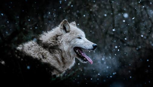 Příběh fotografie – Matyáš Slavík – Vlk arktický