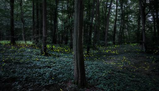 Příběh fotografie – Lukáš Veselý – Rojení světlušek