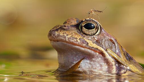 Příběh fotografie – Radim Hlaváč – Skokan a komár