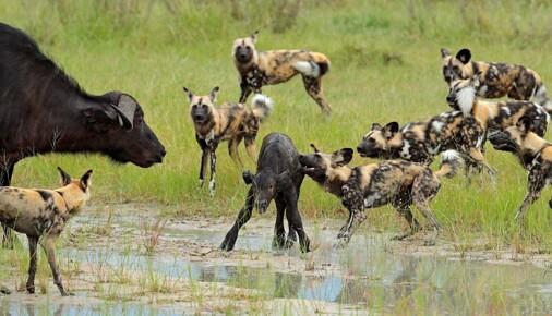 Příběhy fotografií: Ondřej Prosický - Pes hyenovitý, lov smečky pomalovaných vlků